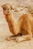Живописный верблюд дромадера пустыни лежа на песке и смотря в камеру Стоковое Фото