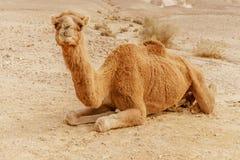 Живописный верблюд дромадера пустыни лежа на песке и смотря в камеру Стоковые Изображения RF