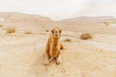 Живописный верблюд дромадера пустыни лежа на песке и смотря в камеру Стоковое Изображение RF