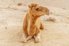 Живописный верблюд дромадера пустыни лежа на песке Перемещение Сахары лета Стоковая Фотография