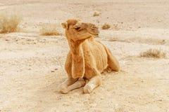 Живописный верблюд дромадера пустыни лежа на песке Перемещение Сахары лета Стоковые Изображения