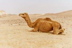 Живописный верблюд дромадера пустыни лежа на песке Стоковое Изображение RF