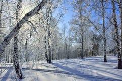 Живописный ландшафт зимы в замороженном лесе березы на солнечном Стоковое фото RF
