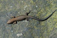 Живородящее vivipara Zootoca ящерицы Стоковое Изображение RF