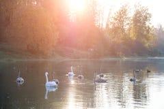 Животная живая природа в Беларуси Белый лебедь стоковые изображения rf