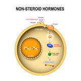 Животная клетка с ядром, цитоплазмой, дна, enzime, киназой протеина иллюстрация штока