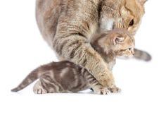 Животная мать кота и котенок младенца изолированный на белизне Стоковое фото RF