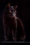 животная плохая ноча везения черного кота любознательная пугающая Стоковое фото RF