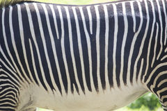 ЖИВОТНАЯ предпосылка текстуры - мех зебры Стоковая Фотография RF