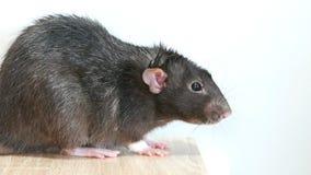 Животная серая крыса видеоматериал