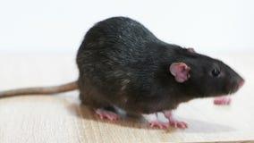 Животная серая крыса сток-видео