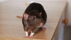 Животная серая крыса акции видеоматериалы