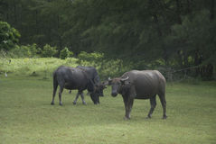 Животноводческая ферма коровы Стоковое Изображение