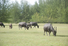 Животноводческая ферма коровы Стоковая Фотография RF