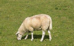 Животноводческая ферма овец Стоковое Изображение