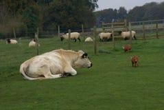 Животноводческие фермы великобританских белых скотин быка, свиней, & овец Стоковые Изображения RF