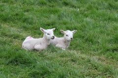 Животноводческие фермы Йоркшир Стоковое Фото