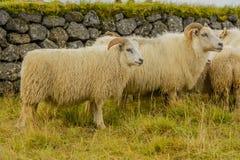 Животноводческие фермы - овцы Стоковое Изображение RF