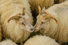 Животноводческие фермы - овцы Стоковые Фотографии RF