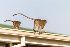 2 животного младшего матери обезьян Стоковые Фотографии RF