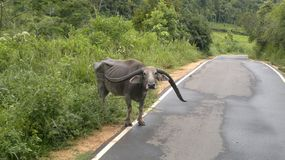 Животное азиатского буйвола Шри-Ланка Стоковое Изображение RF