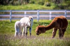 Животное лама в группе Стоковые Фотографии RF