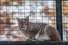 Животное большой кошки рыся умное Стоковое фото RF