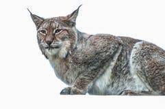 Животное большой кошки рыся умное Стоковые Изображения