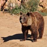 Животное бурого медведя Стоковое Изображение RF