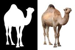 Животное верблюда над белизной Стоковая Фотография RF