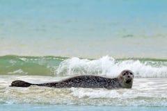 Животное в воде Серое уплотнение, grypus Halichoerus, портрет детали в открытом море, развевает на заднем плане, животное в natur Стоковые Фотографии RF