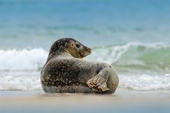 Животное в воде Серое уплотнение, grypus Halichoerus, портрет детали в открытом море, развевает на заднем плане, животное в natur Стоковое Изображение