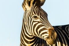 Животное живой природы зебры головное Стоковое фото RF