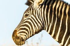 Животное живой природы зебры головное Стоковая Фотография