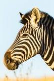 Животное живой природы зебры головное Стоковые Изображения