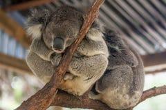 Сонный медведь коалы от зверинца в Сидней, Австралии. Стоковые Фото