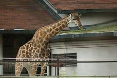 Животное жирафа в зоопарке Стоковое фото RF