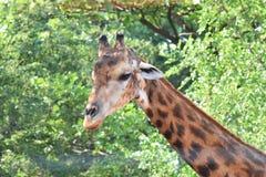 Животное жирафа в зоопарке Стоковые Изображения