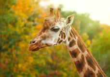 Животное жирафа в природе Стоковые Фото