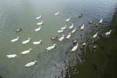 Животное заплывание утки в реке Стоковые Изображения RF