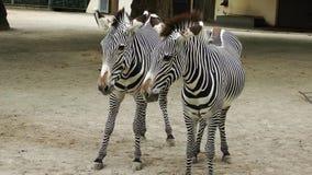 Животное зебры млекопитающееся в зоопарке сток-видео