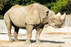 Животное зоопарка носорога носорога одичалое Стоковые Изображения