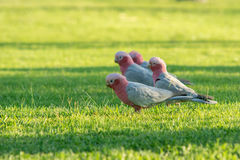 Животное: Какаду птицы в западной Австралии Стоковые Фото