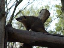 Животное коати сидя на ветви стоковые изображения rf