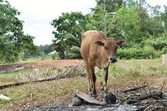 Животное коровы Стоковое Изображение