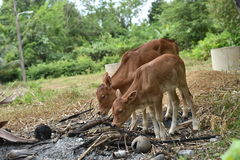 Животное коровы Стоковая Фотография