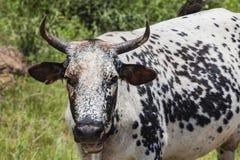 Животное коровы Inkunzi Стоковое Изображение RF