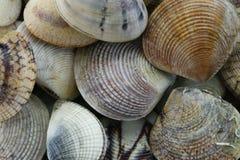 животное море ХРЕБТООБРАЗНОГО CLAM ВЕНЕРЫ Стоковое Фото