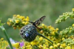 Животное насекомого Ephemera стоковое изображение