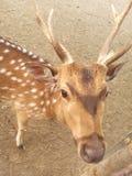 Животное оленей Sundarbans стоковое изображение